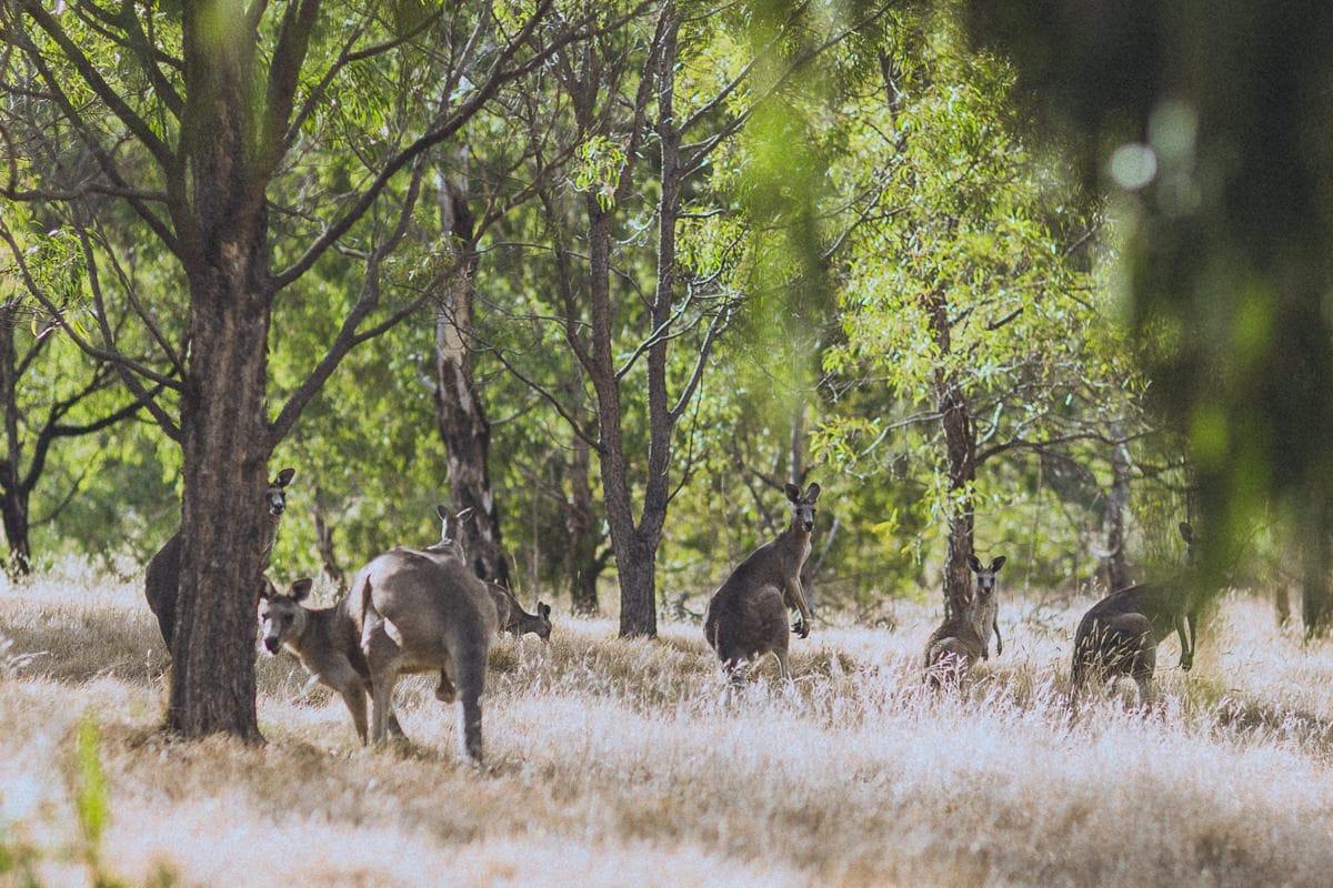 kangaroos in melbourne park