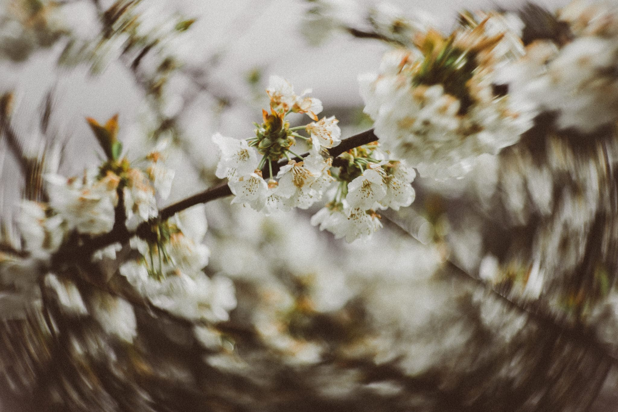 crazy bokeh created by art lenses - cherry blossom photos