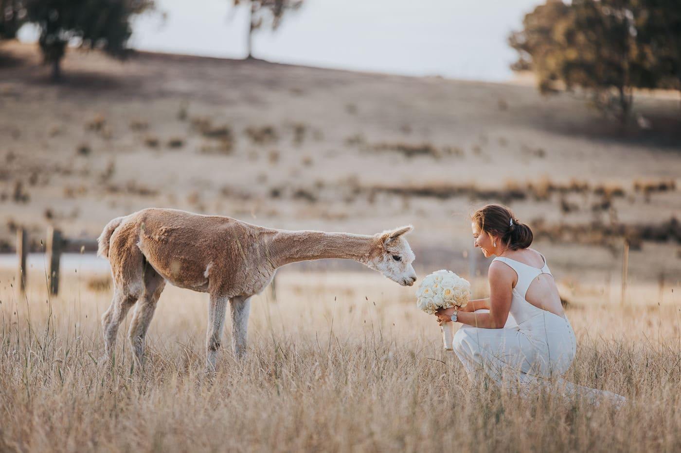 Wedding Photos creative and unposed - wedding photos in Melbourne with animals - Llama / Alpaca Wedding Photos