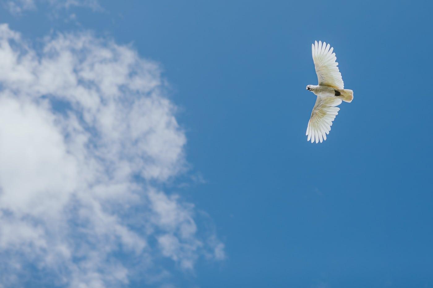 Cockatoo in flight above wedding at Flowerdale Estate